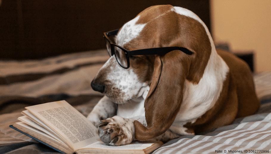 basset hund liest buch auf bett 1