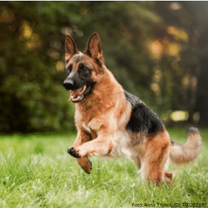 qualzucht schaeferhund