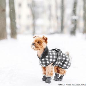 yorkshire terrier mit hundeschuhen 1