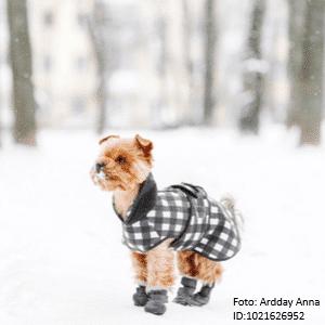 yorkshire terrier mit hundeschuhen
